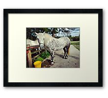 Dapple Grey Scottish Highland Pony Framed Print