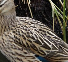 Female Mallard at Tehidy Woods in Cornwall.  Sticker
