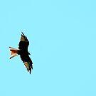 Red Kite Hunting by Barnbk02