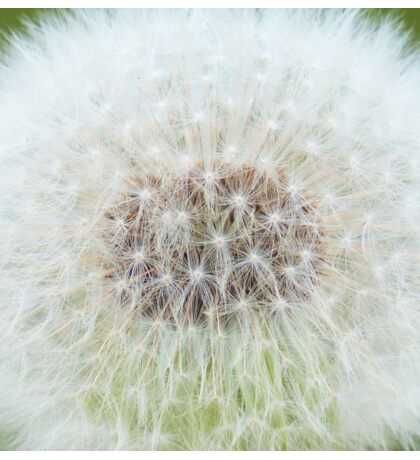 Fluffy Dandelion Sticker