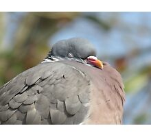 Woodpigeon Dreams Photographic Print