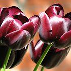 Singing of Spring - Quartet of Tulips by BlueMoonRose