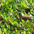 Wattlebird amongst Grevillea by Marilyn Harris