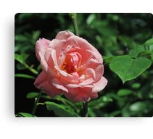 Late Summer Rose Canvas Print