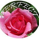 Pink rose flower perfect design by naturematters