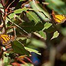 Monarch Butterlies at Pismo Beach by Yukondick