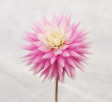 Pastel Pink Dahlia In Full Bloom by Ra12
