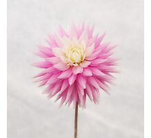 Pastel Pink Dahlia In Full Bloom Photographic Print