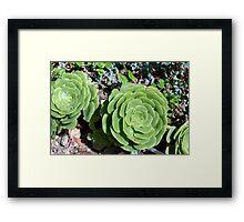Spherical succulents in the garden Framed Print
