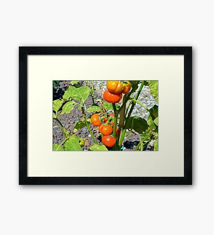 Tomatoes growing in the garden Framed Print