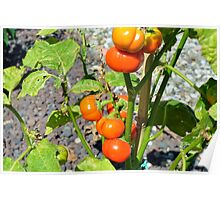 Tomatoes growing in the garden Poster