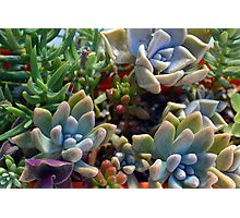 Beautiful succulents in the garden Photographic Print