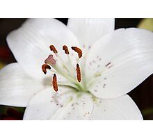 White Lilly Photographic Print