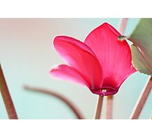 Cyclamen Crown Photographic Print