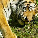 Sleeping Tiger by ChristaJNewman
