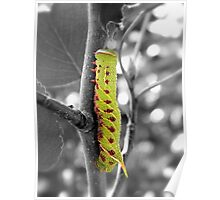 Blinded Sphinx Caterpillar Poster