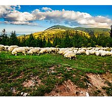 flock of sheep on the meadow near  forest Photographic Print