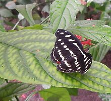 Black and White Butterfly on Green Leaf - Napo River - Ecuador by David Galson