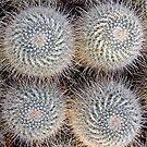 Mammillaria geminispira by John Thurgood