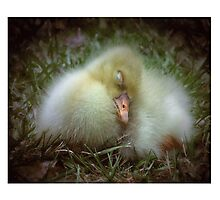 Baby gosling sleeping after a long day Photographic Print