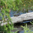 Painted Turtle in Algonquin Park by caybeach