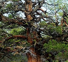 Juniper in the Sierras by Corri Gryting Gutzman