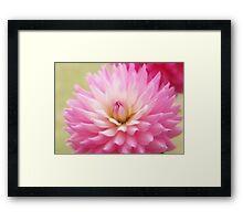 Soft Pink Dahlia Framed Print