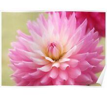 Soft Pink Dahlia Poster