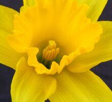 Bright Yellow Daffodil Sticker