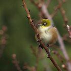 Cute little Silver Eye.........! by Roy  Massicks
