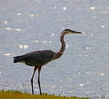 Great Blue Heron by Tony Wilder