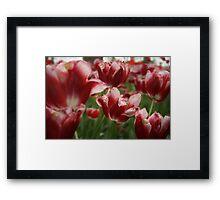 Red & White Tulips Framed Print
