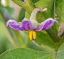 Eggplant Flower by Kenneth Keifer