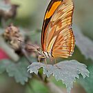Julia Butterfly by Krys Bailey