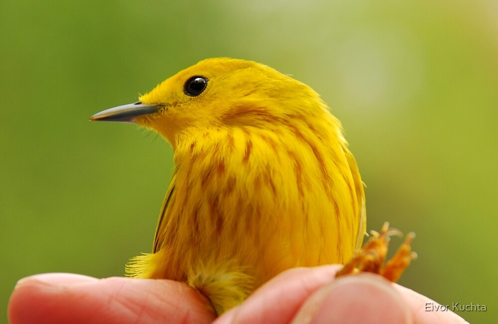 Yellow Warbler by Eivor Kuchta
