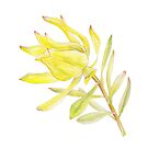 Leucadendron Yellow Tulip Proteaceae by Sarah Trett