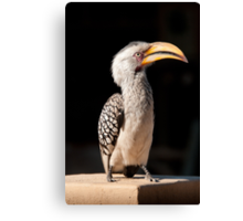 Southern Yellow-billed Hornbill, South Africa Canvas Print