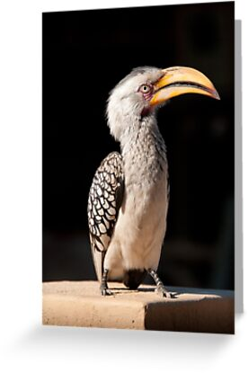 Southern Yellow-billed Hornbill, South Africa by Erik Schlogl
