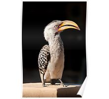 Southern Yellow-billed Hornbill, South Africa Poster
