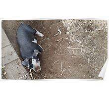 Lounging Piggy Poster