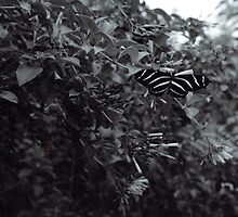 Zebra Butterfly in B&W by njordphoto