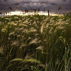 Prairie Grasses Northeastern Colorado by johnny gomez