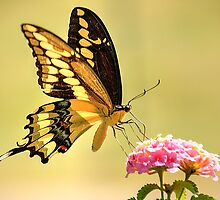 Giant Swallowtail Butterfly by LorriCrossno