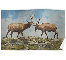 Elk Bulls Fighting Poster