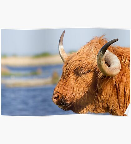 Highland Cattle in Oare Marshes, Kent Poster