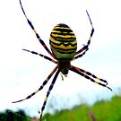 Wasp Spider by ©The Creative  Minds
