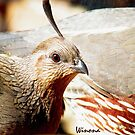 Gambel Quail Female by Winona Sharp