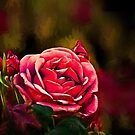 The passionate soul of a rose by Celeste Mookherjee