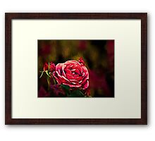 The passionate soul of a rose Framed Print