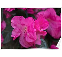 peony in spring Poster